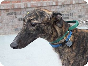 "Greyhound Dog for adoption in Smyrna, Tennessee - LB's Nailed Shut ""Link"""