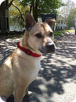 Shepherd (Unknown Type) Mix Dog for adoption in Manchester, New Hampshire - Layla