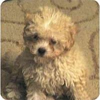 Adopt A Pet :: Apricot - La Costa, CA