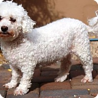 Adopt A Pet :: Sandy - Gilbert, AZ