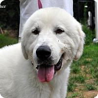 Adopt A Pet :: Fletcher - Indian Trail, NC