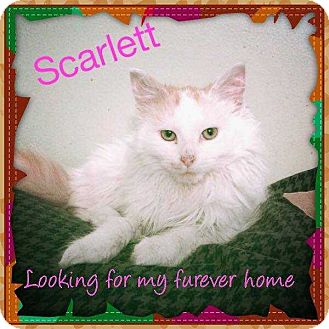 Domestic Mediumhair Cat for adoption in Central Islip, New York - Scarlet