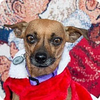 Chihuahua Mix Dog for adoption in San Marcos, California - Sophie