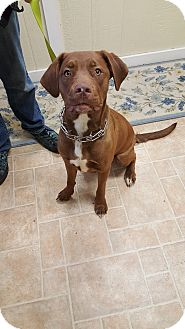Labrador Retriever/Pit Bull Terrier Mix Dog for adoption in Cody, Wyoming - Lucy