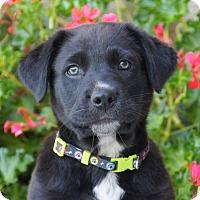 Adopt A Pet :: Frederick von Maysie - Thousand Oaks, CA