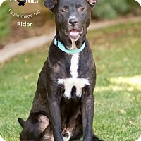 Adopt A Pet :: RIDER - Chandler, AZ