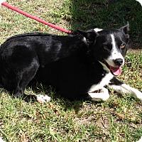 Adopt A Pet :: SCOUT - San Pedro, CA