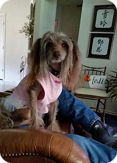 Chinese Crested/Poodle (Miniature) Mix Dog for adoption in Wylie, Texas - Tallulah