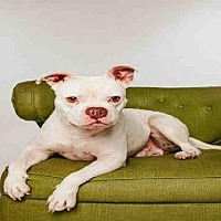 American Bulldog/Staffordshire Bull Terrier Mix Dog for adoption in Sugar Land, Texas - *MEATBALL