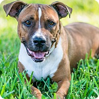 Boxer/American Bulldog Mix Dog for adoption in Miami, Florida - Earl