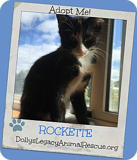 Domestic Shorthair Kitten for adoption in Lincoln, Nebraska - ROCKETTE