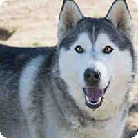Adopt A Pet :: Shatzee - Agoura, CA