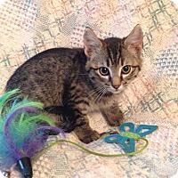 Adopt A Pet :: Bam Bam - Bonner Springs, KS
