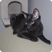Domestic Shorthair Cat for adoption in Smithfield, North Carolina - Mowgli