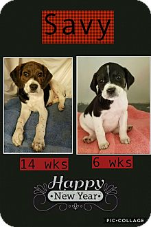 Beagle Mix Puppy for adoption in Manchester, Connecticut - Savy in CT