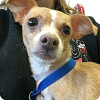 Adopt A Pet :: Bagel - Raritan, NJ