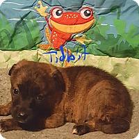 Adopt A Pet :: Tidbit - Albany, NC