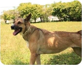 Belgian Malinois/Labrador Retriever Mix Dog for adoption in Key Biscayne, Florida - Athena