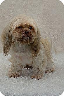 Lhasa Apso Dog for adoption in Davie, Florida - Dusty Rose