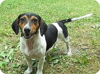 Beagle/Basset Hound Mix Dog for adoption in Allentown, Pennsylvania - Beat-a-Bee