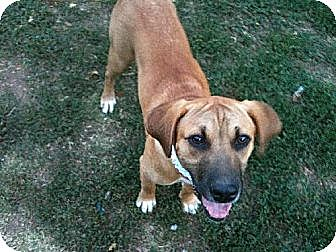 Bloodhound Mix Dog for adoption in Ponca City, Oklahoma - Joon