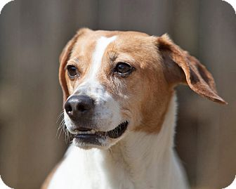 Beagle Mix Dog for adoption in Rockaway, New Jersey - Baxter