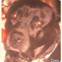 Adopt A Pet :: Zoey - Saint Louis, MO