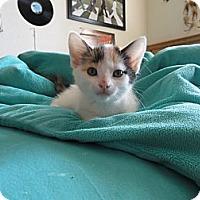 Adopt A Pet :: Malibu - Phoenix, AZ