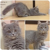 Adopt A Pet :: Nicolay - Modesto, CA