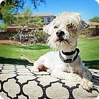 Adopt A Pet :: Hamilton - Scottsdale, AZ