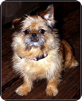 Brussels Griffon/Affenpinscher Mix Dog for adoption in Jackson, Mississippi - MISSISSIPPI VOLUNTEERS NEEDED!