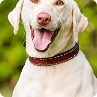 Adopt A Pet :: CiCi - Owensboro, KY