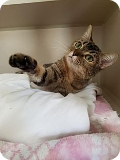 American Shorthair Cat for adoption in Canyon Country, California - Lucille