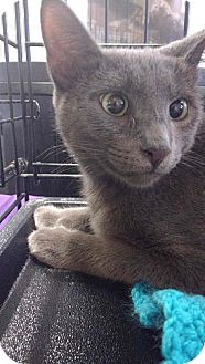 Domestic Shorthair Cat for adoption in Seminole, Florida - Heather