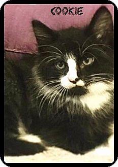 Domestic Mediumhair Kitten for adoption in Baton Rouge, Louisiana - Cookie