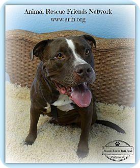 American Bulldog/Labrador Retriever Mix Dog for adoption in Brooksville, Florida - Jeter