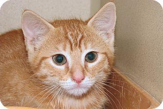 Domestic Shorthair Kitten for adoption in Ruidoso, New Mexico - Tobin