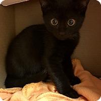 Adopt A Pet :: Tonio - Island Park, NY
