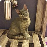 Adopt A Pet :: Sasha - Tampa, FL