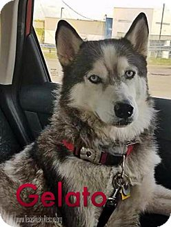 Siberian Husky Dog for adoption in Carrollton, Texas - Gelato