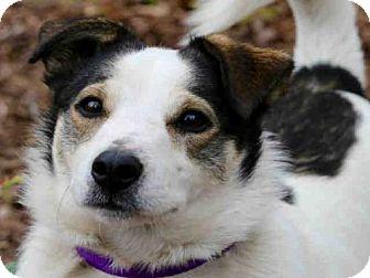 Pembroke Welsh Corgi Mix Dog for adoption in Wainscott, New York - DOODLE