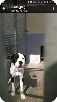 Airedale Terrier/Old English Sheepdog Mix Dog for adoption in Staunton, Virginia - Judge