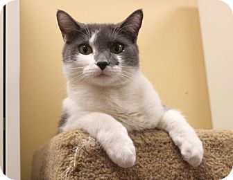 Domestic Shorthair Cat for adoption in Dallas, Texas - Lilly