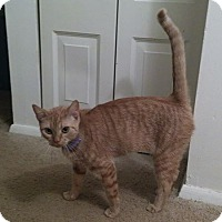 Domestic Shorthair Cat for adoption in Monroe, North Carolina - Lucy
