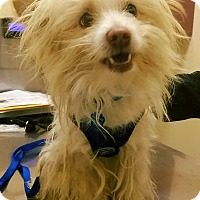 "Adopt A Pet :: ""Collin"" - Seattle, WA"