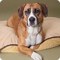 Adopt A Pet :: Lucy - Sudbury, MA