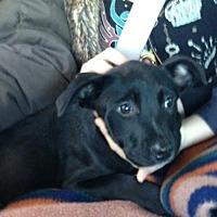 Adopt A Pet :: Tedi - courtesy listing - Westminster, CO