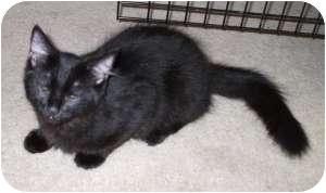Domestic Shorthair Cat for adoption in Henderson, Kentucky - Elvis