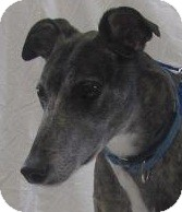 Greyhound Dog for adoption in Swanzey, New Hampshire - Colin