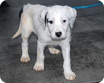 Border Collie/Retriever (Unknown Type) Mix Puppy for adoption in Freeport, New York - Sophia